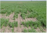Poor wheat stands and resultant spatial variability